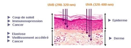 Diagram of the cutaneous penetration of UV rays